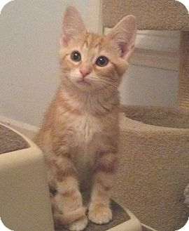 Domestic Shorthair Kitten for adoption in Smithfield, North Carolina - Hagar