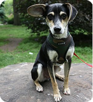 Terrier (Unknown Type, Small) Mix Dog for adoption in Jersey City, New Jersey - Joseph Gordon Levitt