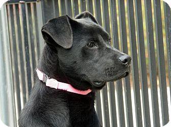 Labrador Retriever/Shepherd (Unknown Type) Mix Dog for adoption in Homewood, Alabama - Lucy