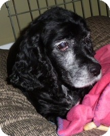 Cocker Spaniel Dog for adoption in Spring City, Tennessee - Maybelline