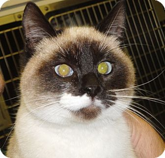 Snowshoe Cat for adoption in Craig, Colorado - Ginger