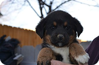 Rottweiler/Bernese Mountain Dog Mix Puppy for adoption in Westminster, Colorado - Lexie