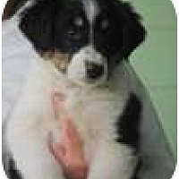 Adopt A Pet :: Coolie - New Boston, NH