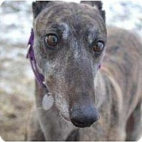 Adopt A Pet :: Lacy (Let Loose Lacy) - Chagrin Falls, OH