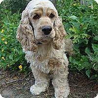 Adopt A Pet :: Callie - Sugarland, TX