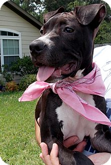 American Staffordshire Terrier/American Pit Bull Terrier Mix Puppy for adoption in Conroe, Texas - Maya