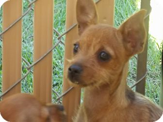 Yorkie, Yorkshire Terrier/Chihuahua Mix Dog for adoption in Marshall, Texas - chica