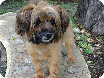 Yorkie, Yorkshire Terrier/Terrier (Unknown Type, Small) Mix Dog for adoption in Palmetto Bay, Florida - Popo