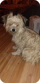 Maltese/Miniature Poodle Mix Puppy for adoption in North Hills, California - Honey