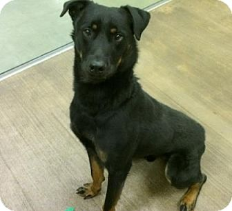 Rottweiler Mix Dog for adoption in Cleveland, Ohio - Chase