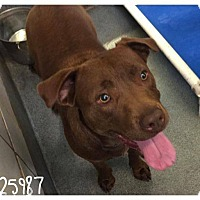Adopt A Pet :: Cocoa - Lewisville, IN