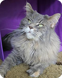 Maine Coon Cat for adoption in Parkville, Missouri - Lexi