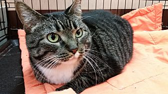 Domestic Shorthair Cat for adoption in Little Falls, New Jersey - Missy (SC)