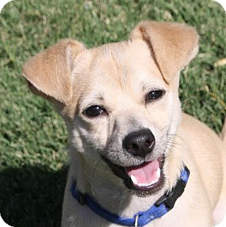 Chihuahua/Terrier (Unknown Type, Small) Mix Dog for adoption in Edmonton, Alberta - Milton
