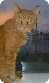 Domestic Shorthair Cat for adoption in Hamburg, New York - Butterscotch