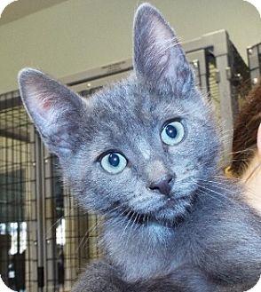 Domestic Shorthair Kitten for adoption in Grants Pass, Oregon - Steve