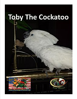 Cockatoo for adoption in Vancouver, Washington - Toby One Loving Cockatoo