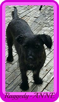 Scottie, Scottish Terrier/Terrier (Unknown Type, Small) Mix Dog for adoption in Middletown, Connecticut - Raggedy-ANNE