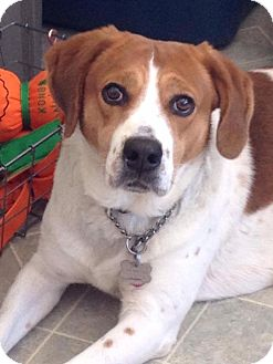 Foxhound/Labrador Retriever Mix Dog for adoption in New Hartford, New York - Benjamin