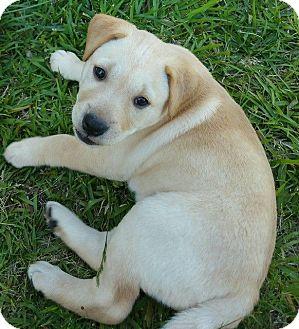 Labrador Retriever Mix Puppy for adoption in Allentown, New Jersey - Montana