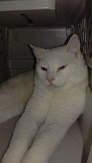 Domestic Shorthair Cat for adoption in Brainardsville, New York - Jesse