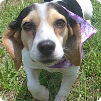 Beagle Mix Dog for adoption in Manning, South Carolina - Lucy
