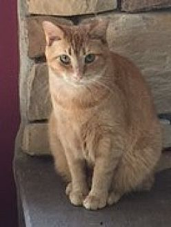 Domestic Shorthair Cat for adoption in Harrisburg, Pennsylvania - Helki (young adult)