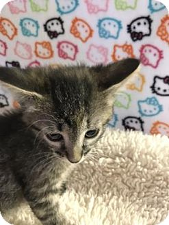 Domestic Shorthair Kitten for adoption in Fountain Hills, Arizona - VIOLET