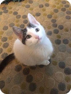 Domestic Shorthair Kitten for adoption in Burlington, Ontario - Sylvester