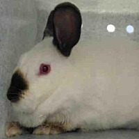 Adopt A Pet :: BUNNY HOP - Albuquerque, NM