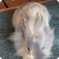 Adopt A Pet :: Bunny 2 - Cerritos, CA