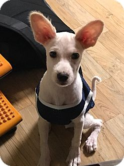 Terrier (Unknown Type, Small) Mix Puppy for adoption in Fairfax, Virginia - Billy