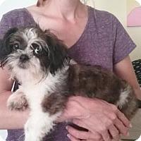 Shih Tzu Puppy for adoption in Orlando, Florida - Squirt