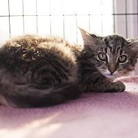 Adopt A Pet :: Barn/Warehouse Cats - Shelton, WA