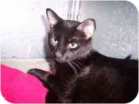Domestic Shorthair Cat for adoption in Medina, Ohio - Noir