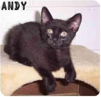 Domestic Shorthair Kitten for adoption in Ozark, Alabama - Andy