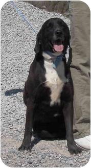 Labrador Retriever Mix Dog for adoption in Las Vegas, Nevada - Blue