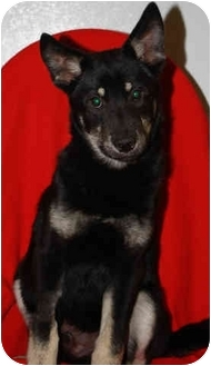 German Shepherd Dog Mix Puppy for adoption in Homer, New York - Jake