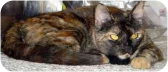 Calico Cat for adoption in Alexandria, Virginia - Izzy