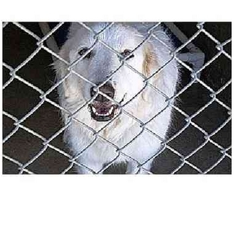 Great Pyrenees Mix Dog for adoption in Kyle, Texas - Circe