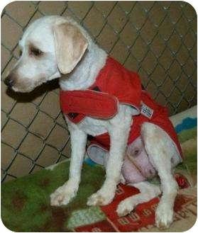 Maltese/Bichon Frise Mix Dog for adoption in Saskatoon, Saskatchewan - Enna
