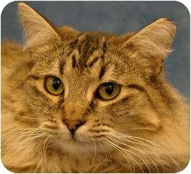 Domestic Longhair Cat for adoption in Sacramento, California - Becky