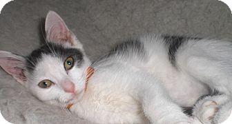Domestic Shorthair Kitten for adoption in Fairborn, Ohio - Anastasia