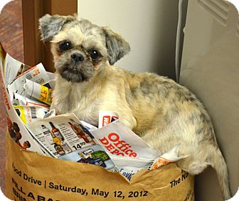 Shih Tzu Dog for adoption in Metairie, Louisiana - Talia