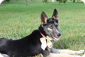 German Shepherd Dog Mix Dog for adoption in Homestead, Florida - Holly