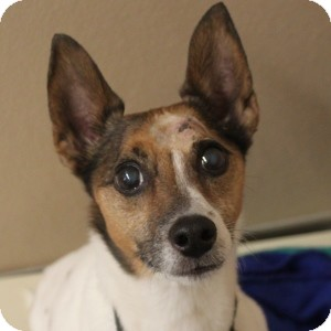 Jack Russell Terrier Mix Dog for adoption in Naperville, Illinois - Russell