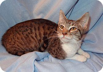 Domestic Shorthair Kitten for adoption in Bentonville, Arkansas - Louie