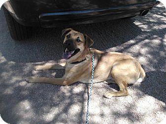 Shepherd (Unknown Type) Mix Dog for adoption in Scottsdale, Arizona - Fenix