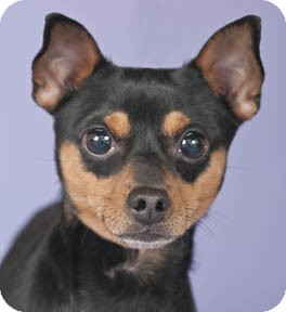 Miniature Pinscher/Chihuahua Mix Dog for adoption in Chicago, Illinois - Max
