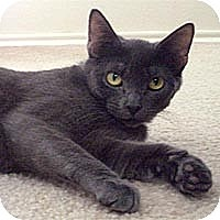 Russian Blue Cat for adoption in Round Rock, Texas - Sasha